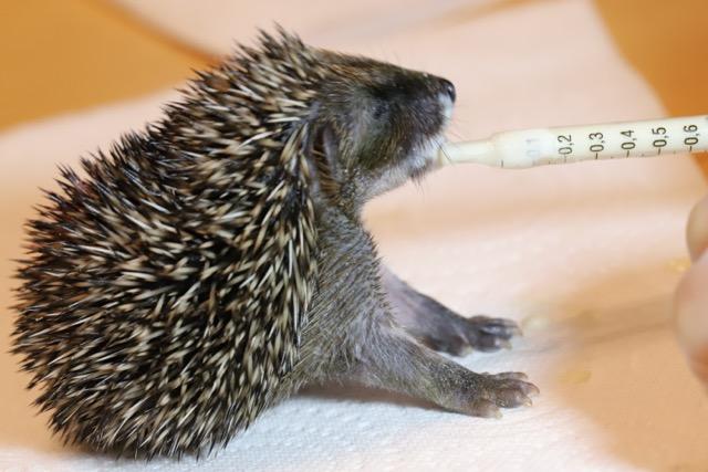 Hedgehog Rescue